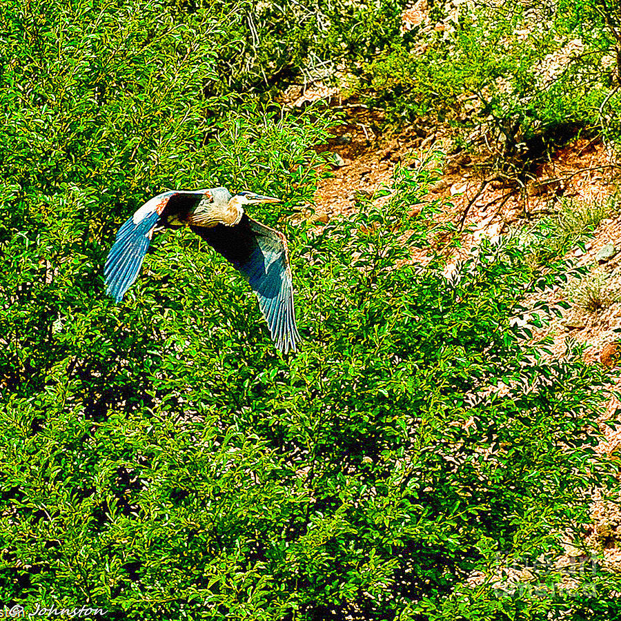 Heron Flies Over Oak Creek In Red Rock State Park Sedona Arizona Photograph