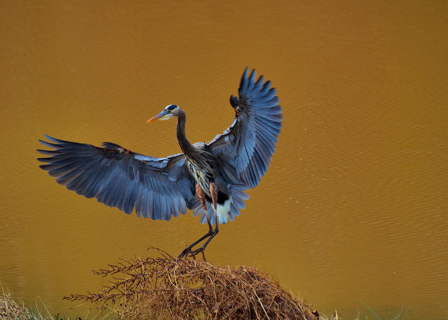 Paul Lyndon Phillips Photograph - Heron With Wings Out - 9235 by Paul Lyndon Phillips