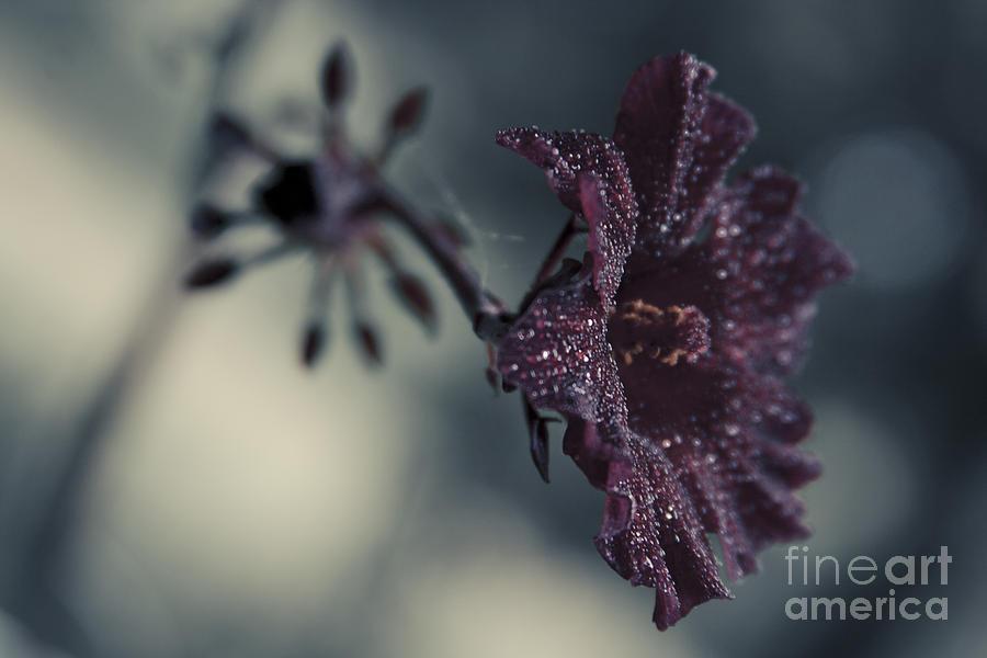 Hibiscus Acetosella Photograph