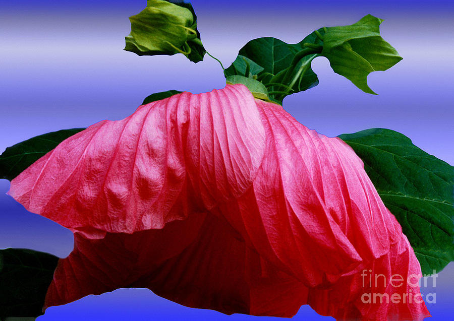 Hibiscus Bloom Wilted Photograph