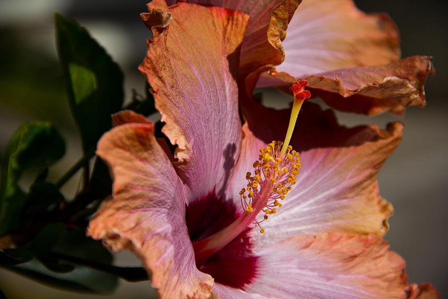Hibiscus In Winter Photograph