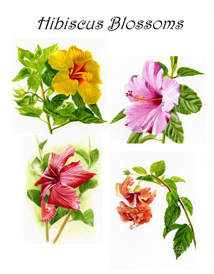 Hibiscus Poster With Script Painting