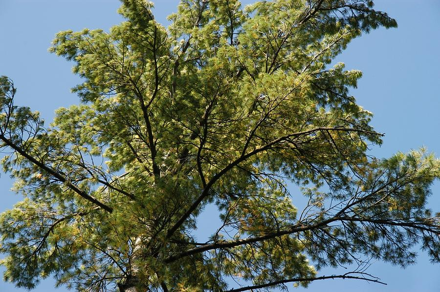 High Pine Photograph