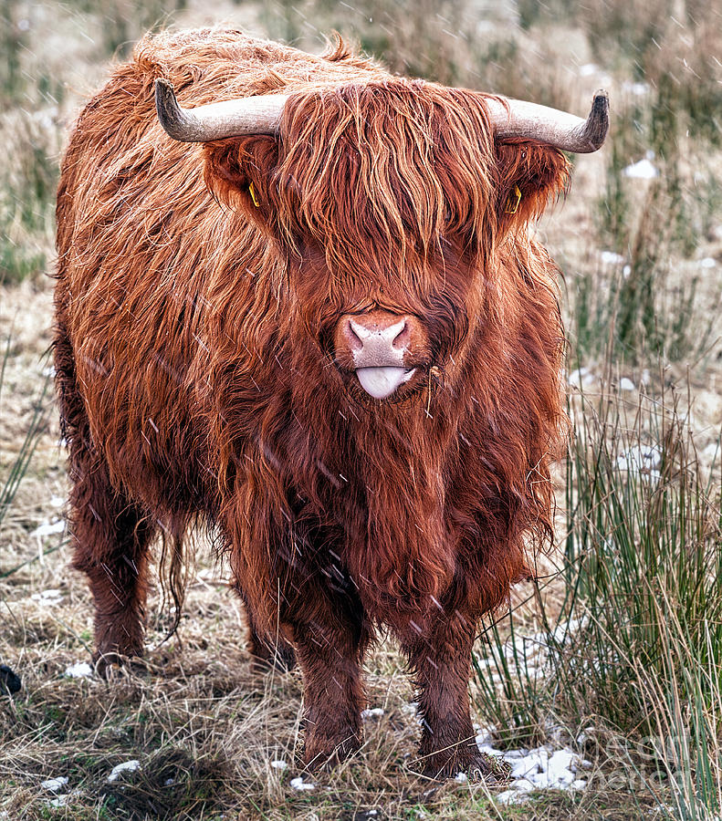 Highland Coo With Tongue Out Photograph