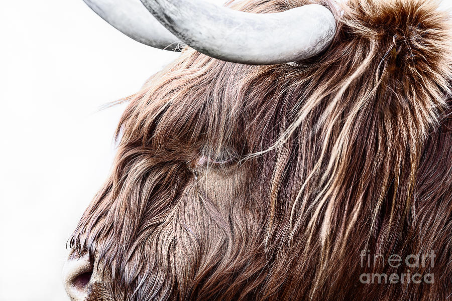 Highland Cow Color Photograph  - Highland Cow Color Fine Art Print