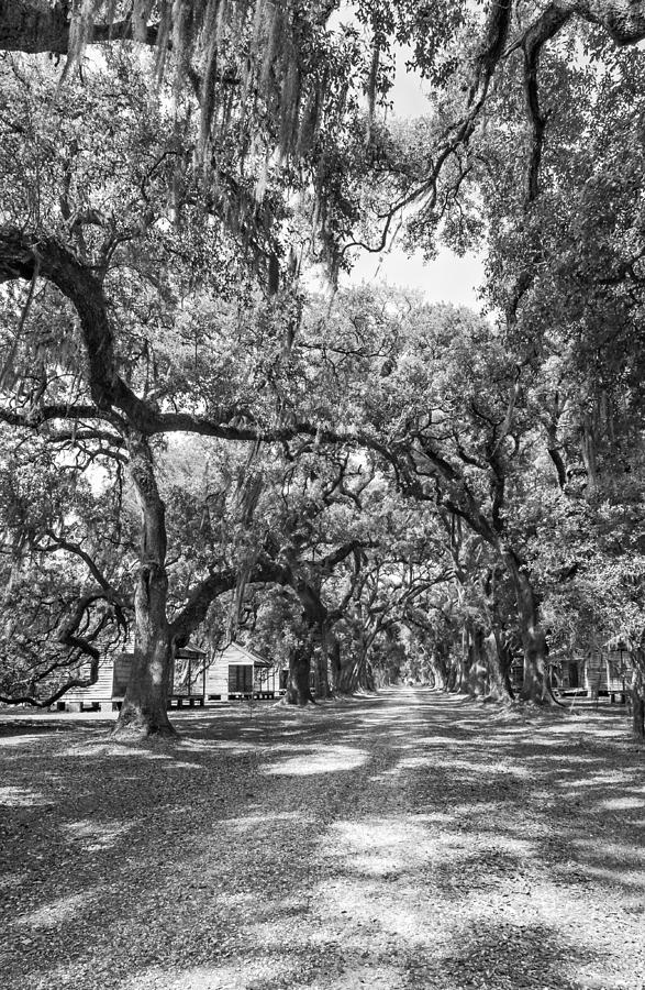 Evergreen Plantation Photograph - Historic Lane Bw by Steve Harrington