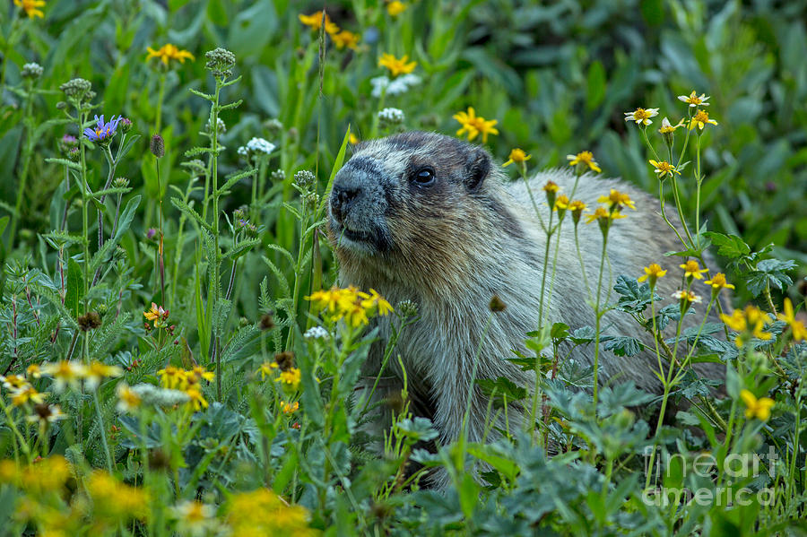 Hoary Marmot In Glacier Np Meadow Photograph