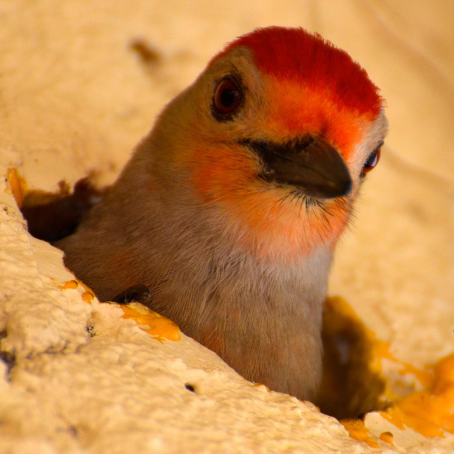 Red-bellied Woodpecker Photograph - Hole In The Wall by AnnaJo Vahle