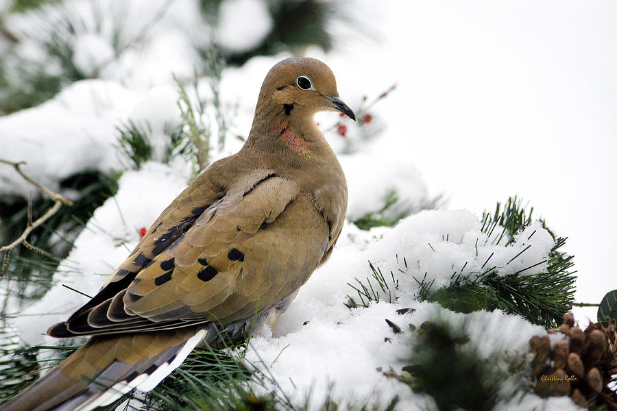 Holiday Dove Photograph  - Holiday Dove Fine Art Print