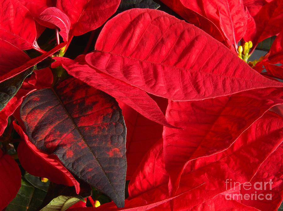 Holiday Red Poinsettia Photograph  - Holiday Red Poinsettia Fine Art Print