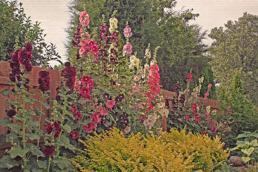 Hollyhocks Photograph  - Hollyhocks Fine Art Print