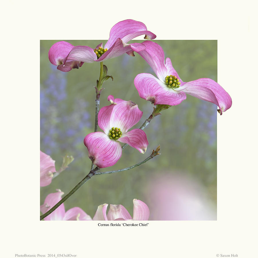 Flowering Dogwood - cherokee Chief Photograph