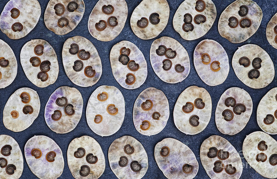 Honesty Seeds Pattern Photograph  - Honesty Seeds Pattern Fine Art Print
