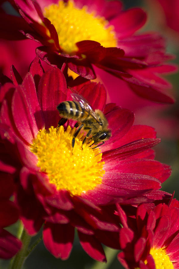 Honey Bee And Chrysanthemum Photograph