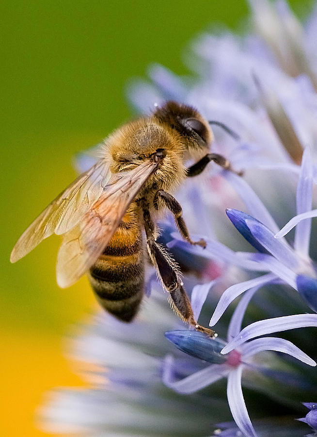 Honey Bee Photograph  - Honey Bee Fine Art Print