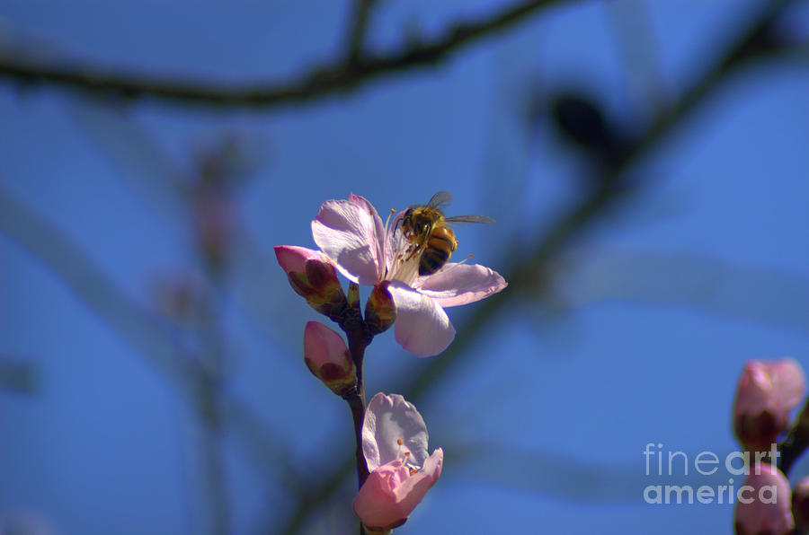 Honey Bee On Almond Blossom Photograph  - Honey Bee On Almond Blossom Fine Art Print