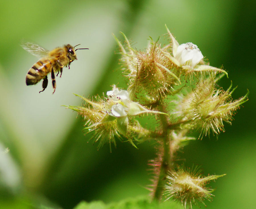Honey Bee Raspberry Photograph