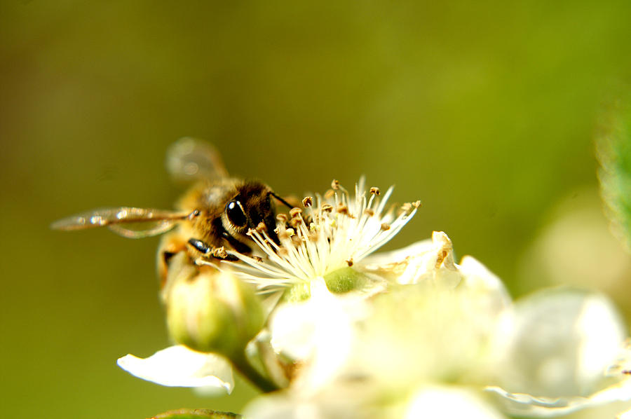 Honey Bee Two Photograph  - Honey Bee Two Fine Art Print