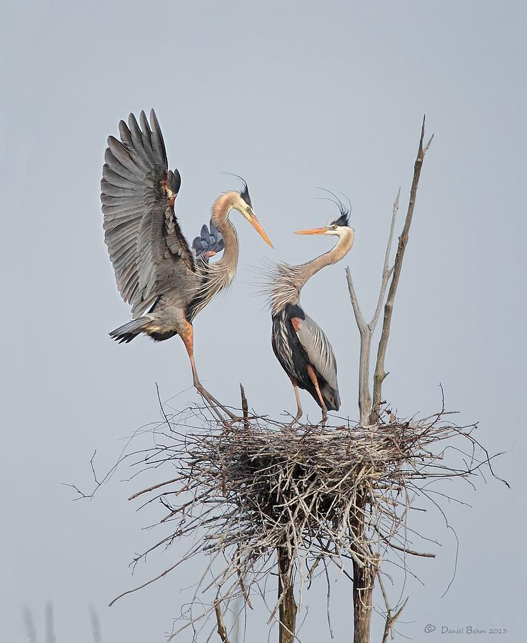 Great Blue Herons Photograph - Honey Im Home by Daniel Behm