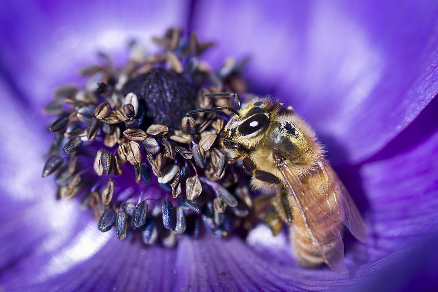 Honeybee And Anemone  Photograph
