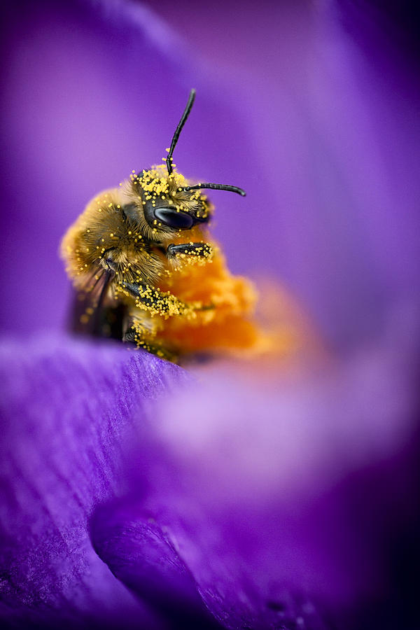 Honeybee Pollinating Crocus Flower Photograph  - Honeybee Pollinating Crocus Flower Fine Art Print