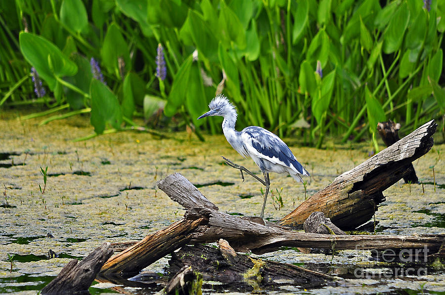 Hooligan Heron Photograph  - Hooligan Heron Fine Art Print