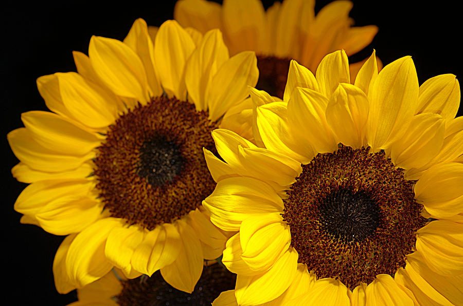 Sunflowers Photograph - Hope And Happiness... by Tanya Tanski