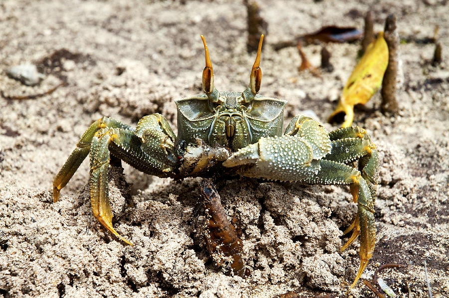 Horned Ghost Crab Photograph