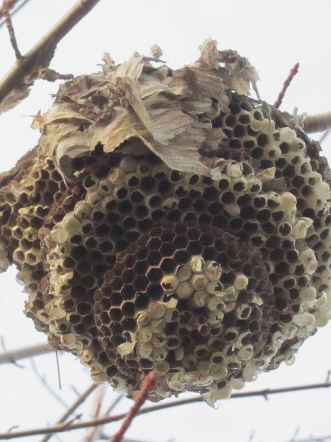 Hornets Nest Photograph