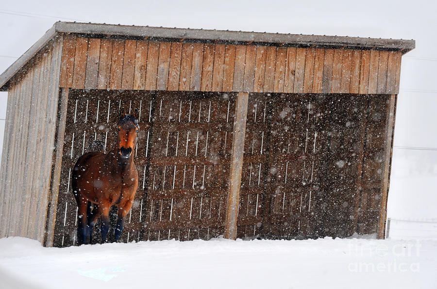 Horse Looking At Snow Storm Photograph