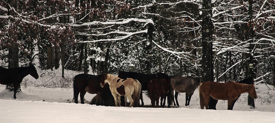 Horses Photograph - Horses In Snow by Tanya Jacobson-Smith
