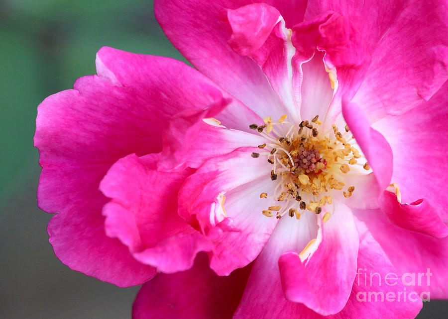 Hot Pink Rose Photograph  - Hot Pink Rose Fine Art Print