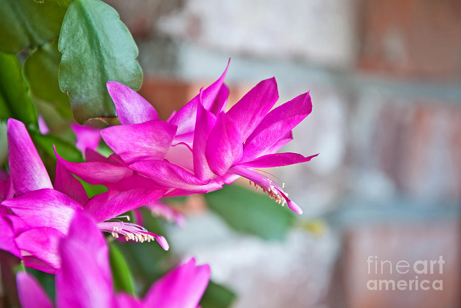 Hot Pinnk Christmas Cactus Flower Photograph