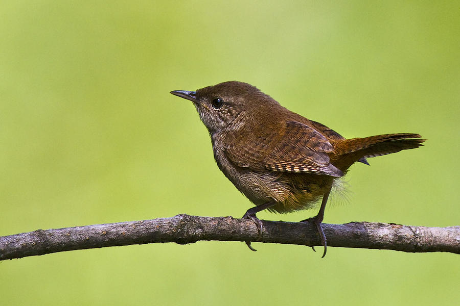 House Wren Photograph By Marcia Colelli