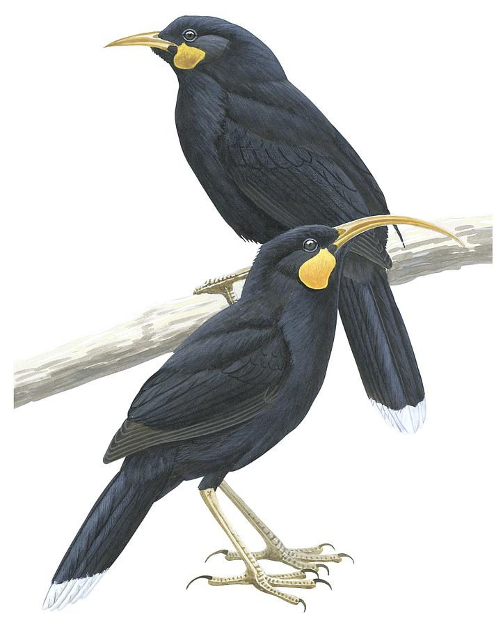 No People; Vertical; Studio Shot; Side View; Full Length; White Background; Two Animals; Animal Themes; Nature; Wildlife; Male Animal; Female Animal; Perching; Bird; Black; Branch; Huia; Heteralocha Acutirostris Drawing - Huia by Anonymous