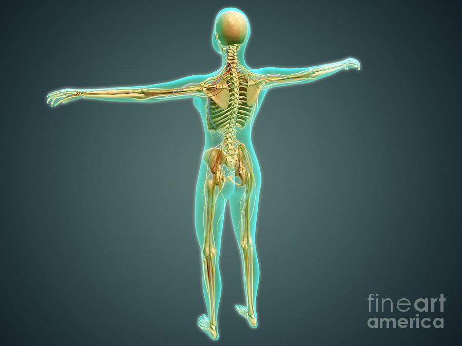 Jugular Veins Digital Art - Human Body Showing Skeletal System by Stocktrek Images