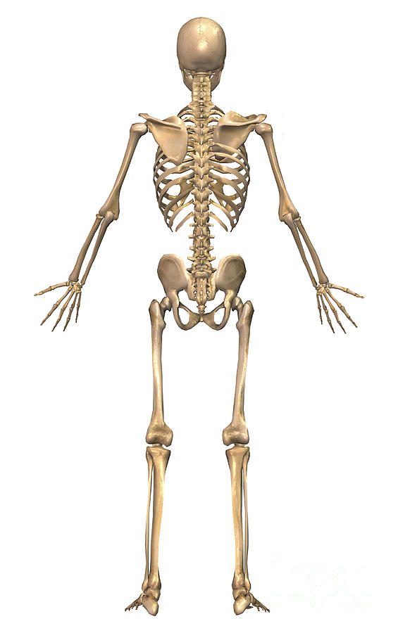 Human Skeleton Back