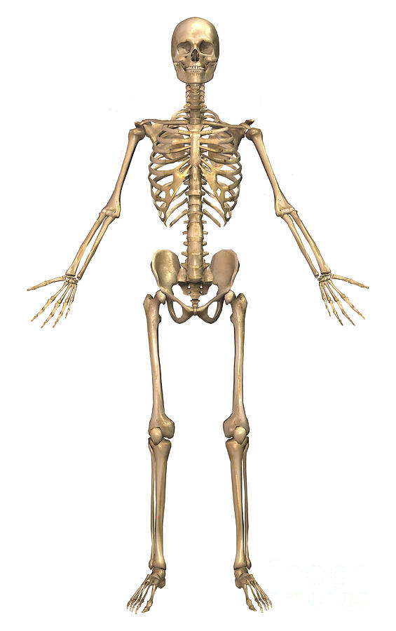 Human Skeletal System  Front View By Stocktrek Images