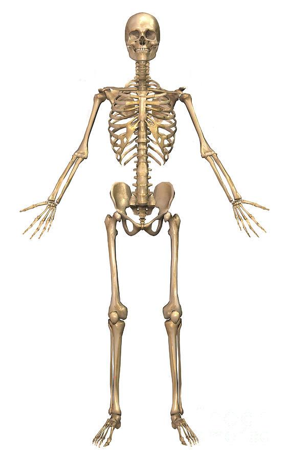 Human Skeletal System, Front View Digital Art