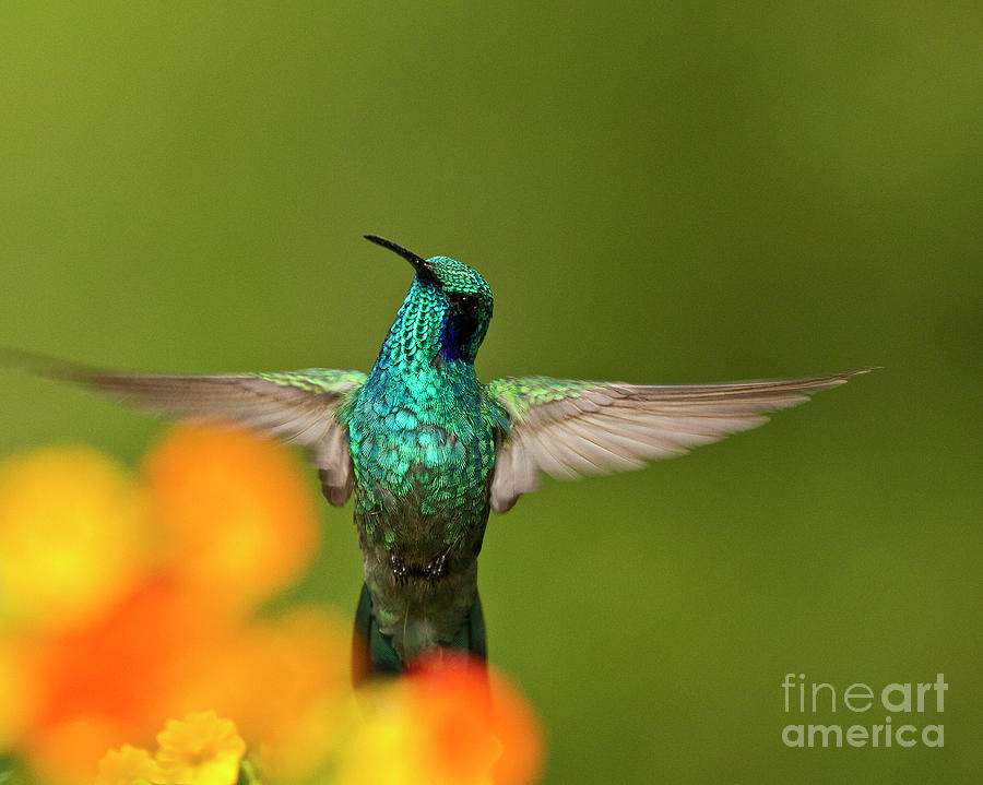 Violetear Hummingbird Photograph - Humming Along by Heiko Koehrer-Wagner