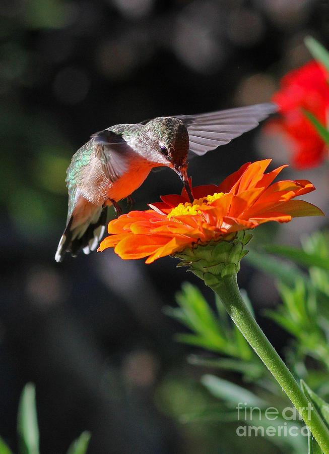 Hummingbird And Zinnia Photograph