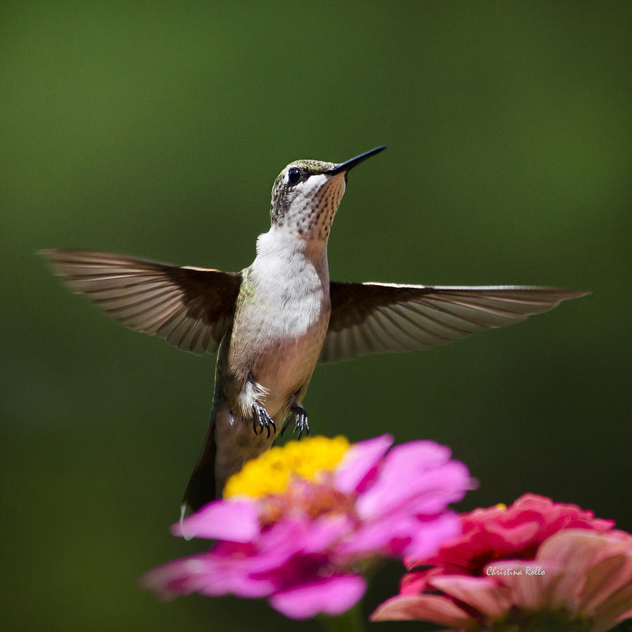 Hummingbird Photograph