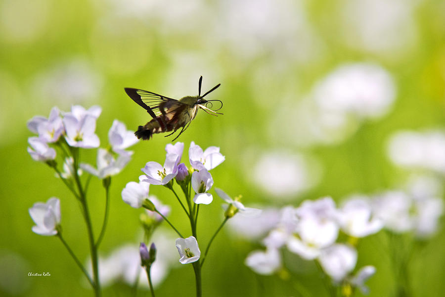 Hummingbird Clearwing Moth Flying Away Photograph