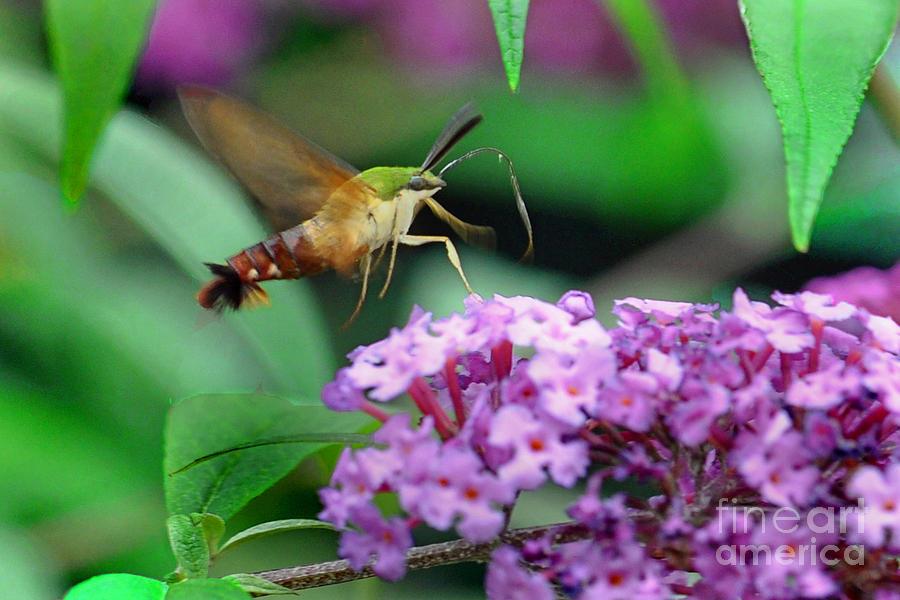 Hummingbird Clearwing Moth Photograph