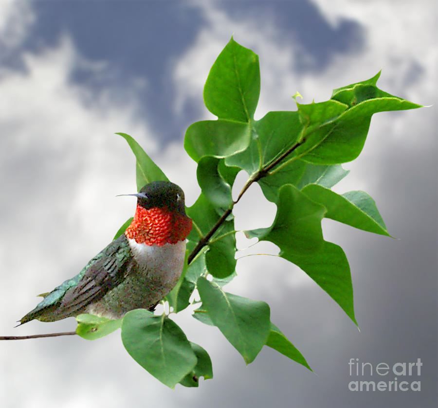 Hummingbird Composite  Photograph