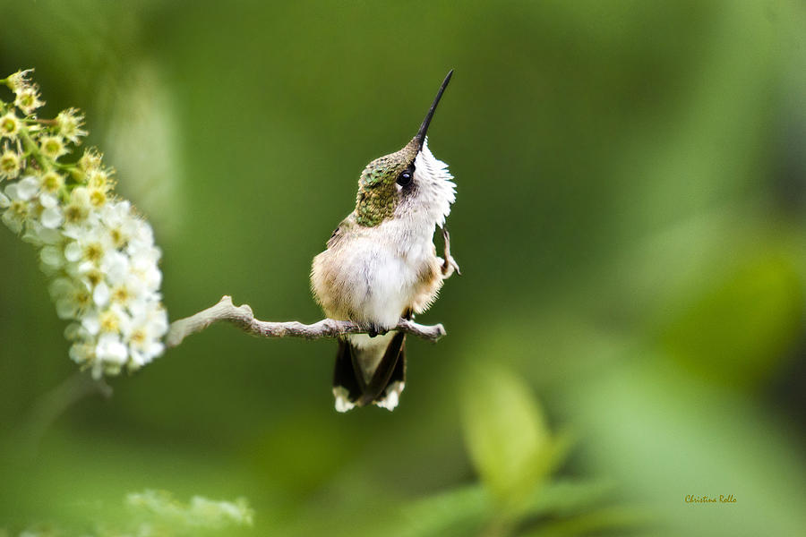 Hummingbird Flexibility Photograph  - Hummingbird Flexibility Fine Art Print
