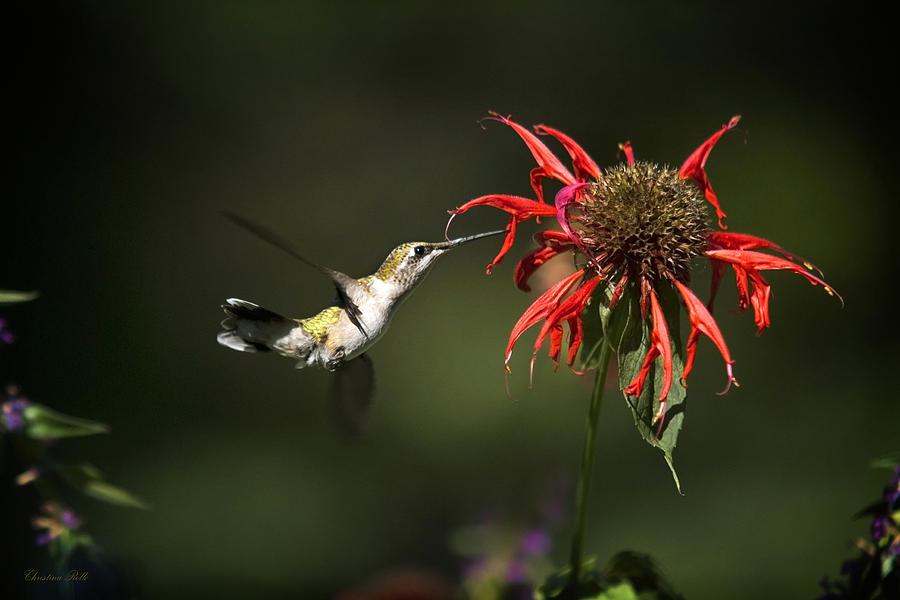 Hummingbird Garden Angel Photograph