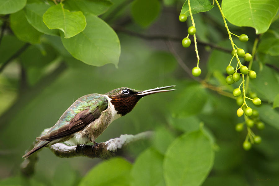 Hummingbird Hiding In Tree Photograph