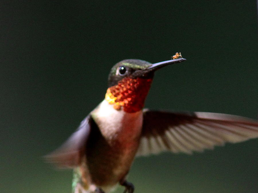 Hummingbird Photograph - Hummingbird - Hitching A Ride - Ruby-throated Hummingbird by Travis Truelove