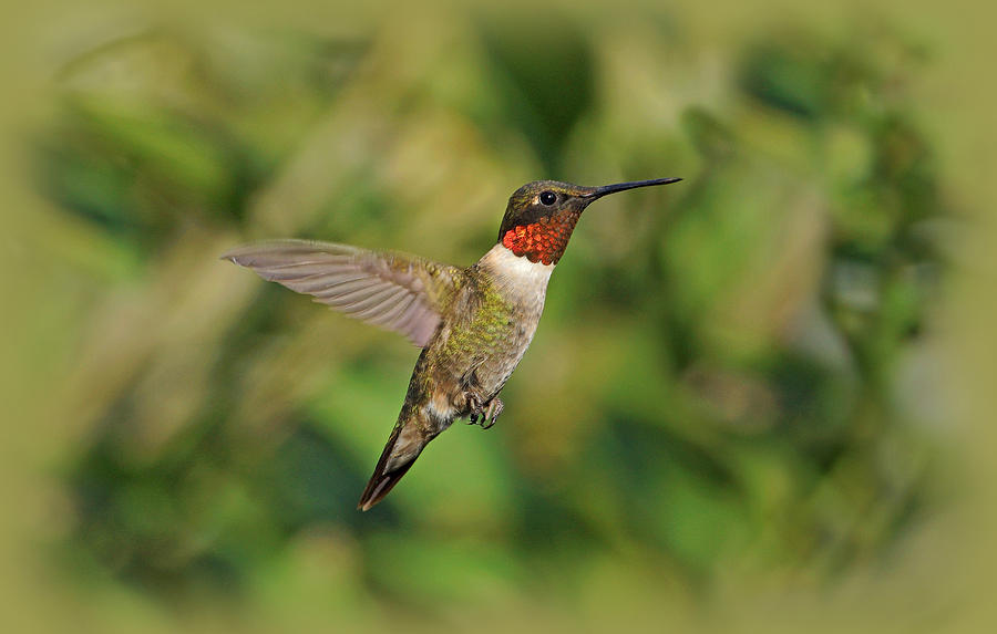 Hummingbird In Flight Photograph